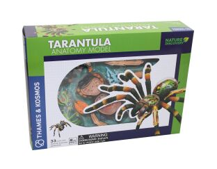 Tarantula Anatomy Model