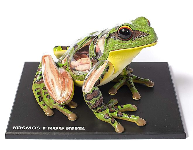 Thames and Kosmos Frog Anatomy